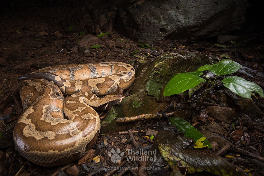 Brongersma's Short-tailed Python (Python brongersmai), the rarest of the three python species known to occur in Thailand. This specimen was encountered in Kaeng Krachan national park, Thailand