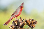 Pyrrhuloxia, Cardinalis sinuatus, male, Santa Cruz County, Arizona