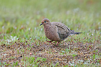Mourning dove (zenaida macroura),  Cherry Hill, Nova Scotia, Canada,