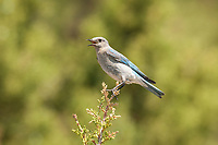 An immature Pinyon Jay perched on top of a conifer tree vocalizes with the rest of the flock in the surrounding trees.