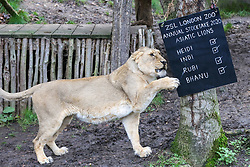 © Licensed to London News Pictures. 02/01/2020. London, UK. An Asiatic lioness, HEIDI plays with the count board during the annual stocktake at London Zoo. London Zoo undertakes its annual stocktaking which is carried out at the the start of each year. Every animal in London Zoo is weighed and measured and the statistics is shared with other Zoos across the world. Photo credit: Dinendra Haria/LNP
