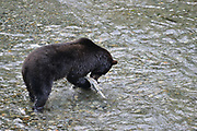 Brown Bear, Ursus arctos, Hyder, Alaska, USA