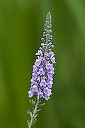 Purple Arrow Head - Tasmania