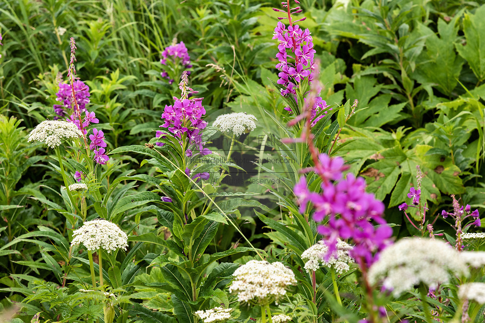 Yarrow and fireweed wildflowers blooming at the McNeil River State Game Sanctuary on the Kenai Peninsula, Alaska. The remote site is accessed only with a special permit and is the world's largest seasonal population of brown bears in their natural environment.
