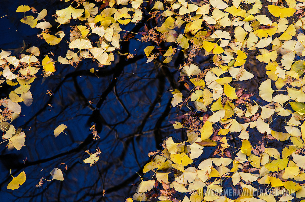 Yellow autumn leaves on a pond. The Narita-san temple, also known as Shinsho-Ji (New Victory Temple), is Shingon Buddhist temple complex, was first established 940 in the Japanese city of Narita, east of Tokyo.