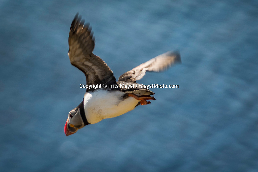 Iceland, April 2019. Puffins nest in the grass above the rocky ledges of Grimsey island. Scientists, storytellers and industrial designers work together during the Ocean Missions Iceland scientific sailing expedition aboard Schooner Opal.  The organisation wants to inspire people to take direct action towards ocean conservation, by combining science and education with exploration and adventure. Photo by Frits Meyst / Meystphoto.com