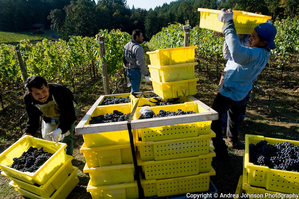 Harvest at Archery Summit's Looney Vineyard, Ribbon Ridge AVA, Willamette Valley, Oregon