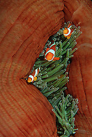 Raja Ampat Indonesia Pacific Ocean false clown anemonefish (amphiprion ocellaris) in sea anemone (Heteractis magnifica)