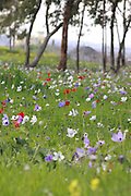 A field of spring wildflowers Anemone coronaria (Poppy Anemone). This wildflower can appear in several colours. Mainly red, purple, blue and white. Photographed in Israel