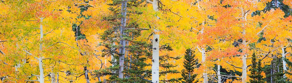 Late September color comes to Utah's high country. Golden aspen leaves mingle with red and orange maple and green conifers to cover the hills with brilliant splashes of color.