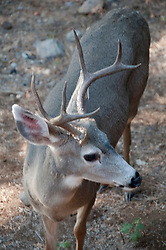 Shasta region of Northern California: Deer near Mount Shasta..Photo copyright Lee Foster.  Photo # california-deer-cashas105195