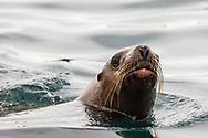 Steller Sea Lion (Eumetopias jubatus) swimming near the Dutch Group islands in Prince William Sound in Southcentral Alaska. Summer. Afternoon.