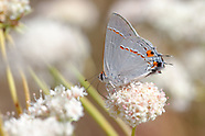 Strymon melinus pudica - Gray Hairstreak