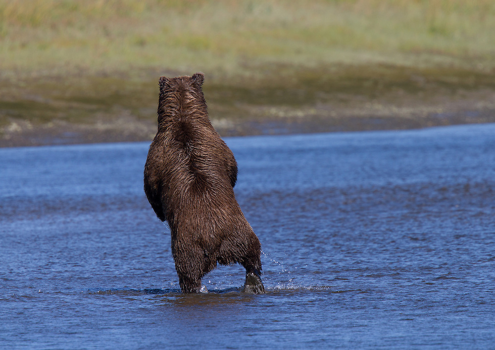 A Coastal Brown Bear (Ursus arctos) sow stands on one leg as she searches for silver salmon in Silver Salmon Creek, Lake Clark National Park and Preserve, Alaska