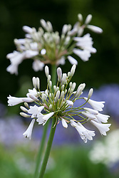 Agapanthus 'Windsor Grey'. African lily
