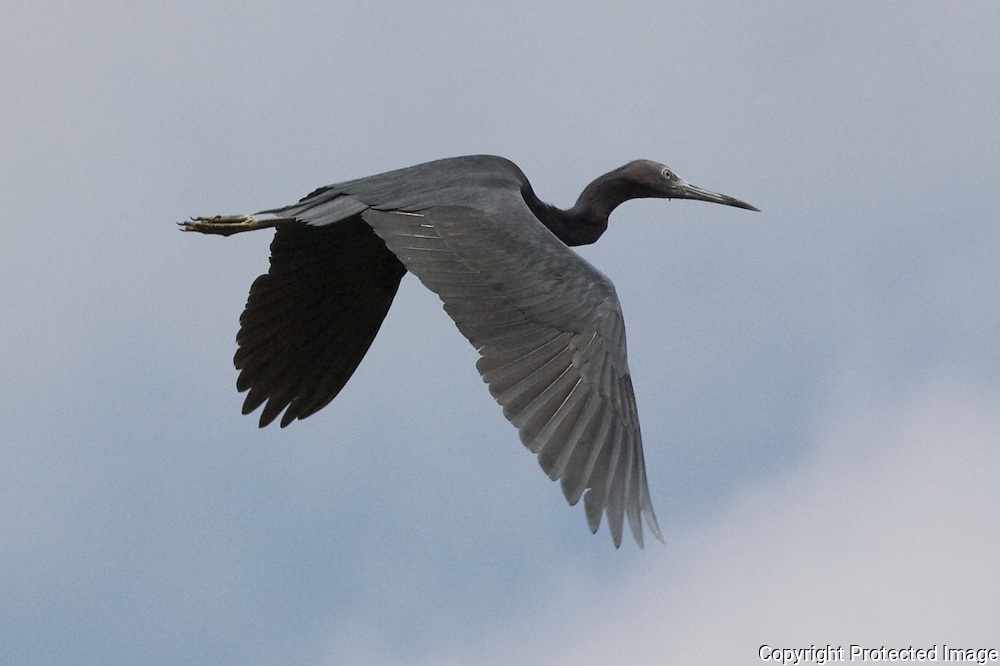 Great Blue Heron (Ardea herodias)  above the mangrove swamps, Cubatão
