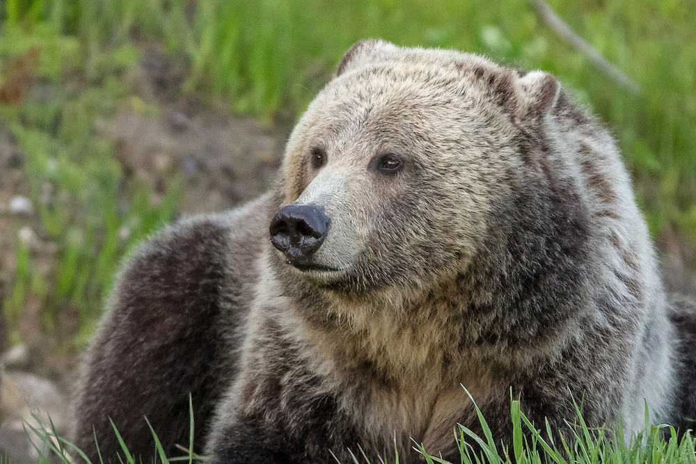 Born in 2007, the grizzly sow known as Raspberry, is a constant presence in her home range near Yellowstone lake. She shares this range with her mother, Blaze, and several other siblings that range in age from 3 to 15 years old.