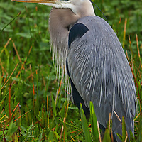 South Florida bird photography from outdoor photographer Juergen Roth showing a Great Blue Heron at Wakodahatchee Wetlands in Boynton Beach, Florida. Wakodahatchee Wetlands and Green Cay are amazing places on earth for wildlife viewing and photography in Florida. Upon arrival, there were at least 30 nesting everglades storks in side and while making my rounds on the boardwalk I encountered this Great Blue Heron bemong other bird species. <br />