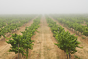 A vineyard disappears in the fog, Sonoma County, California