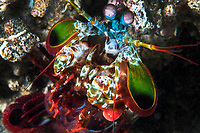 """Colorful Mantis Shrimp, nicknamed the """"Peacock Smasher"""", poses briefly<br /> <br /> Shot in Indonesia"""