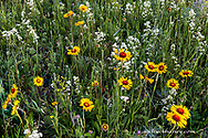 Blanketflower aka brown eyed susans and wild buckwheat in Glacier National Park, Montana, USA