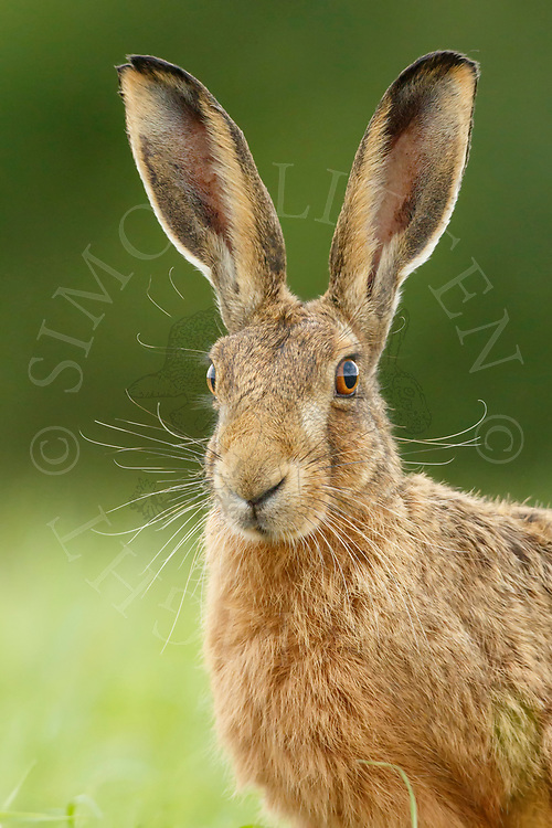European Hare (Lepus europaeus) adult, close up of head South Norfolk, UK. July.