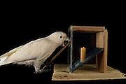 [captive] Goffin's cockatoo (Cacatua goffiniana). In this experiment, the cockatoo learns to use a tool. It needs to poke a treat (peanut) in a box using a stick until the treat falls out off the box. Handling of the stick requires coordination of foot and beak. Goffin's cockatoos or Tanimbar Corellas are endemic to the Tanimbar archipelago in Indonesia. Research on their cognitive abilities is done in the Goffin Lab (Lower Austria) by Dr. Alice M. I. Auersperg. Sequence 3/10. | Goffinkakadu (Cacatua goffiniana). In diesem Versuch muss der Goffinkakadu erlernen, mit einem Stock nach einer Belohnung (Erdnuss) zu stochern, um sie zum Rausfallen aus einer ansonsten unzugänglichen Box zu bringen. Die Handhabung des Stöckchens verlangt Koordination von Fuß und Schnabel. Der Kakadu lernt hierbei den Werkzeuggebrauch. Der Goffinkakadu ist eine Papageienart und kommt in freier Wildbahn ausschließlich auf der indonesischen Inselgruppe Tanimbar vor. Forschung zu kognitiven Fähigkeiten des Goffinkakadus wird im Goffin Lab (Niederösterreich) von Dr. Alice M. I. Auersperg durchgeführt. Sequenz 3/10.