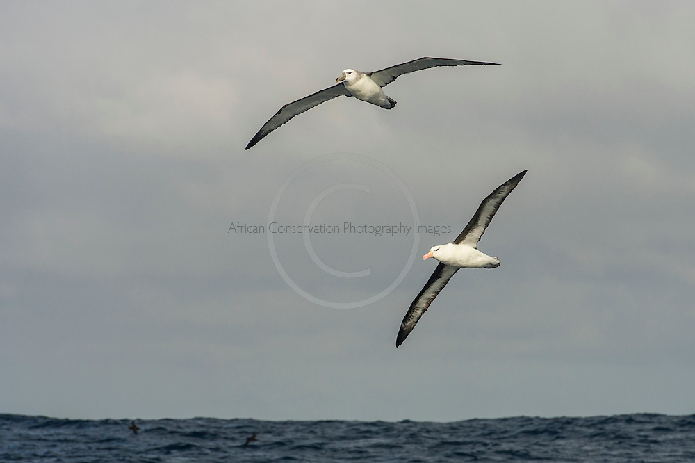 Shy Albatross and Black-Browed Albatross  in flight , Cape Canyon Trawl Grounds, South Africa