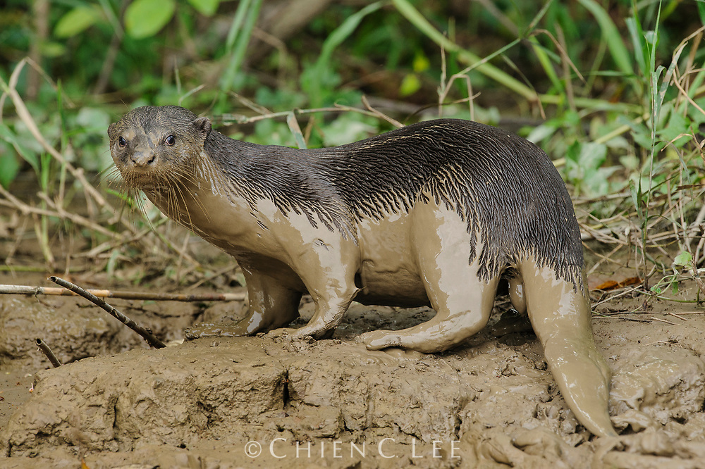 The Smooth Otter (Lutrogale perspicillata) is the largest otter species in Southeast Asia, reaching up to 1.3 meters in length. Smooth Otters mate for life and hunt cooperatively for fish. Sabah, Malaysia.