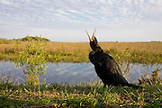 A double crested cormorant alongside the Anhinga trail in the north of the Everglades National Park. This species is common to the Southern Florida region
