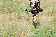 Africa, Kenya, lake naivasha Game Reserve, Martial Eagle, Polemaetus bellicosus, in flight