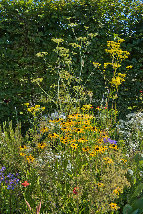 Carpinus betulus (hornbeam) hedge surrounding a border including Echinacea paradoxa Gold Nugget (Ozark yellow coneflower), Patrinia scabiosifolia (Golden valerian, Golden lace), Anaphalis triplinervis, Aster amellus 'Rudolph Goethe' and Geum chiloense 'Blazing Sunset' (avens 'Blazing Sunset') <br /> <br /> <br /> <br /> IGA Berlin 2017, 'The Garden of Vulcan'<br /> Design: Tom Stuart-Smith Ltd
