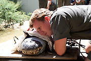 Eight Keepers Needed To Move 400kg Alligator!<br /> <br /> As far as dream jobs go manhandling a 400kg alligator called Brutus wouldn't be one of them, but for keepers at the Australian Reptile Park its just another day at the office. Keepers at the park in Somersby on the Central Coast successfully removed a rogue American alligator from its lagoon of 30 with as little of fuss as possible. 'He is a younger male, full of testosterone. He's causing lots of trouble; biting our boat, chasing us around while we're nest raiding and causing many injuries among the alligators,' he said.<br /> 'It was critical we caught him and moved him to a time out pen.'<br /> So just how do you move an almost 400kg alligator? With great difficulty as it turned out. But Mr Collett and his team had been through this before and took it all in their stride. <br /> ©Exclusivepix Media