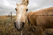 Shetland ponies, outside Rosebud Montana, curious