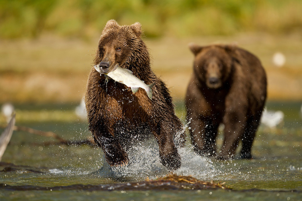 USA, Alaska, Katmai National Park, Coastal Brown Bear (Ursus arctos) runs with Pink Salmon away from rival in spawning stream along Kinak Bay