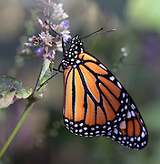 A closeup of a monarch butterfly feeding on some flowers.