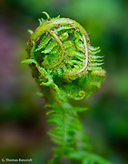 New fern fronds were beginning to open.  They are so delicate when in this fiddlehead stage and fun to study closely.