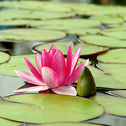 Pink water lily (Species: Nymphaea Masaniello) among green leaves, in natural pond