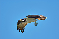 Osprey (Pandion haliaetus), in flight near the Fishing Pier, Sanibel Island, Florida, USA   Photo: Peter Llewellyn