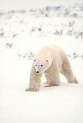 Polar bear boar during winter in Canada