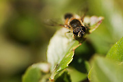Differential focusing, with epmphasis on the head detail of a drone fly, while resting on a Pyracantha leaf.