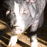 Berkshires are a rare-breed originally from Britain, prized for juiciness, flavor and tenderness. Known as Kurobota Pork in Japan, these pigs are recognized for having well- marbled, high-quality meat..