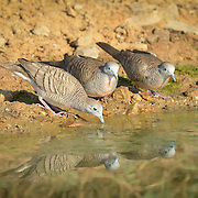 The zebra dove (Geopelia striata) also known as barred ground dove, is a bird of the dove family Columbidae, native to Southeast Asia.