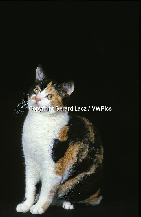 American Wirehair Domestic Cat, Adult sitting against Black Background