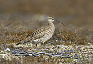 Whimbrel Numenius phaeopus L 40-45cm. Smaller cousin to Curlew with shorter bill, diagnostic head markings and distinctive call. Sexes are similar. Adult has grey-brown to buffish brown plumage with fine, dark streaking on neck and breast. Head pattern comprises two broad, dark lateral stripes on otherwise pale crown, and pale supercilium. Juvenile is similar but plumage is overall warmer buff. Voice Distinctive bubbling call comprises seven notes that descend slightly in pitch from start to finish. Song is confusingly similar to that of Curlew. Status Rare breeding species, favouring boggy moorland; Shetland is a hotspot. Fairly common passage migrant in spring and autumn on coasts; overwinters in S in very small numbers.