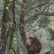 Northern pig-tailed macaque, Macaca leonina, in Khao Yai National Park, Thailand.