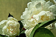 close up of white flowers against gold background