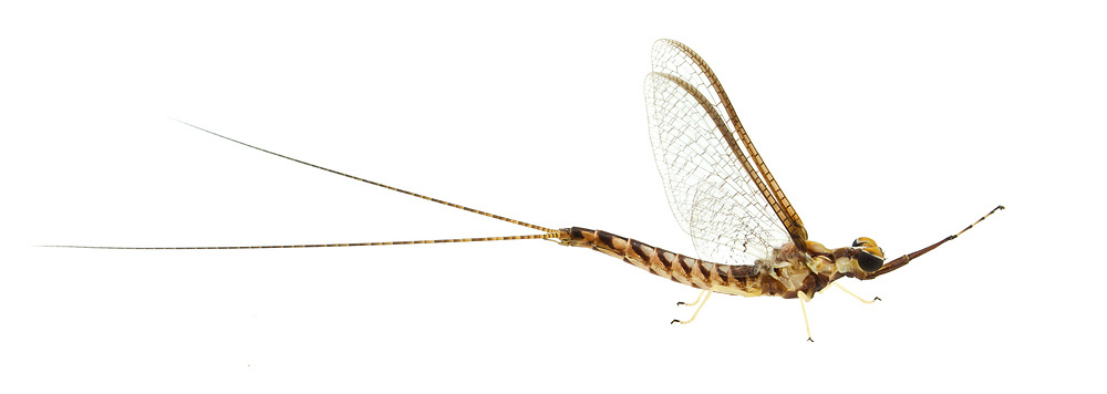 Burrowing Mayfly (Hexagenia limbata) - male<br /> ALABAMA: Tuscaloosa Co.<br /> Tulip Tree Springs off Echola Rd.; Elrod<br /> 30-May-2016<br /> J.C. Abbott #2823 &amp; K.K. Abbott