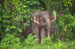 Bornean elephants are pictured near the Kinabatangan River, on August 5, 2019 near Sandakan city, State of Sabah, North of Borneo Island, Malaysia. Palm oil plantations are cutting down primary and secondary forests vital as habitat for wildlife including the critically endangered Bornean elephants. Photo by Emy/ABACAPRESS.COM