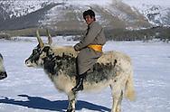 Mongolia. yak  in the snow , in Huis nuur lake - height lakes area -  ovokangai -   /   yak dans la neige Huis nuur, region des huit lacs  ovokangai - Mongolie /
